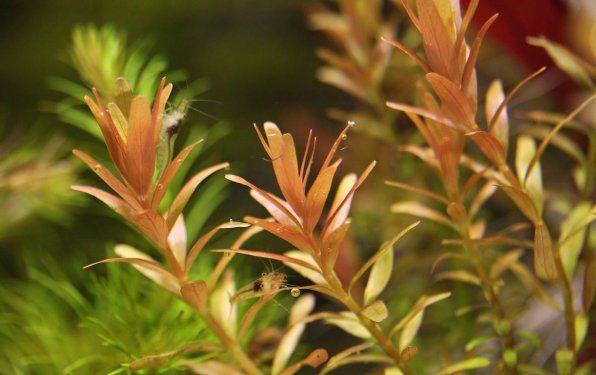 Rotala rotundifolia lub rotundifolia