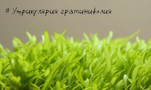 Zdjęcie prostoliniowe graminifolia