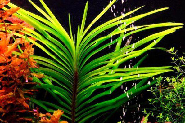 Eichornia lazurowe wodne zdjęcie