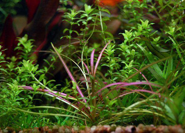 Echinodorus rubra zdjęcie