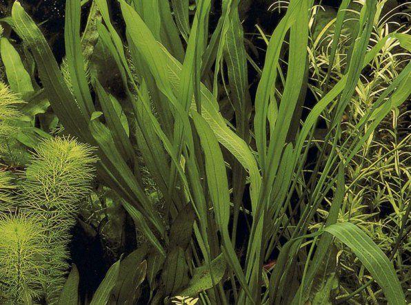 Echinodorus Urugwajskie zdjęcie