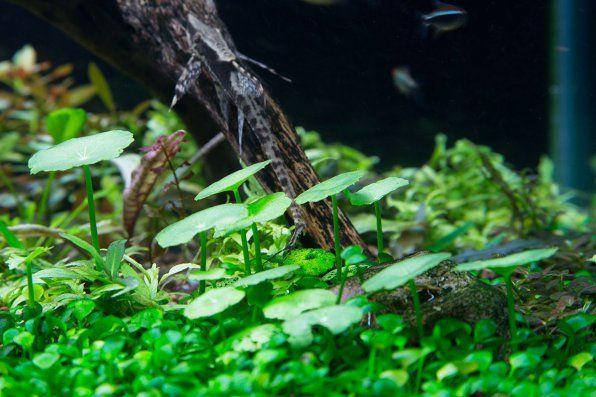 Hydrocotyl pionowy, gwizdek gwizdkowy, Zdjęcie pępka wodnego