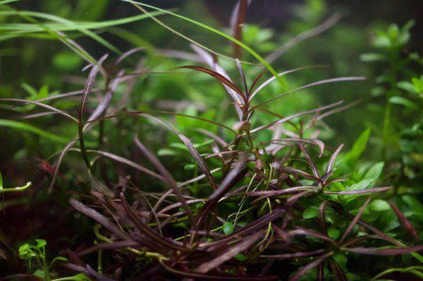 Hygrophilus araguay zdjęcie