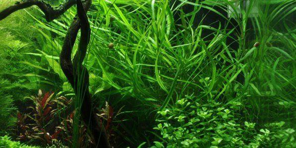 Zdjęcie Hygrophila loosestrife
