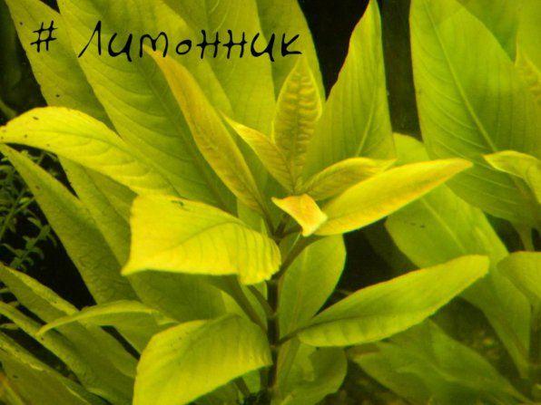Schisandra lub nomafila prosto