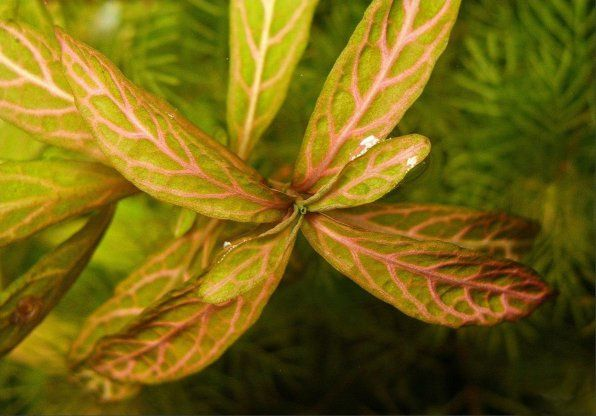 Hygrophila marble rosanervig zdjęcie