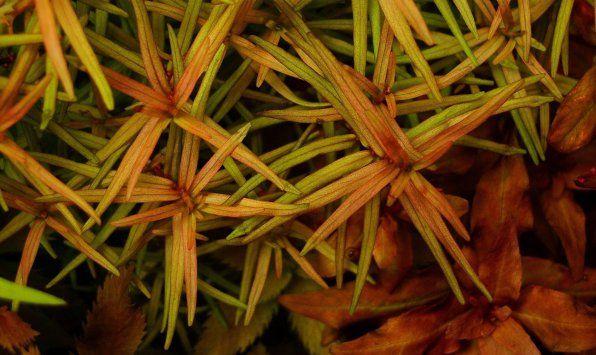 Didiplis diandra lub podwójne zdjęcie łodygi Buterlak
