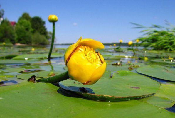 Żółta kapsułka lub żółta lilia wodna