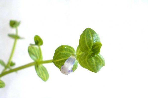 Lindernia rotundifolia rotundifolia zdjęcie