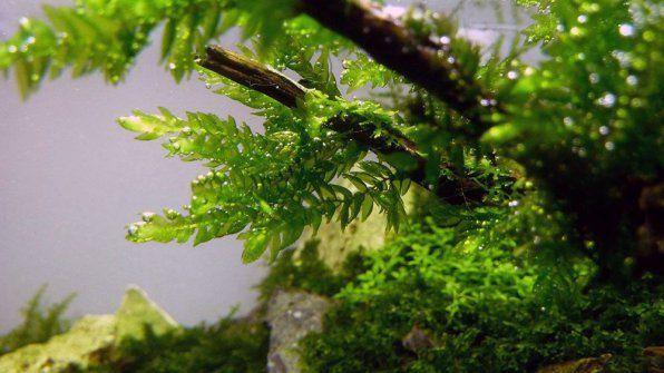 Mech Fontinalis lub Key Moss