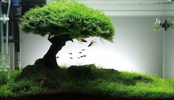 Zdjęcie jawajskiego mchu