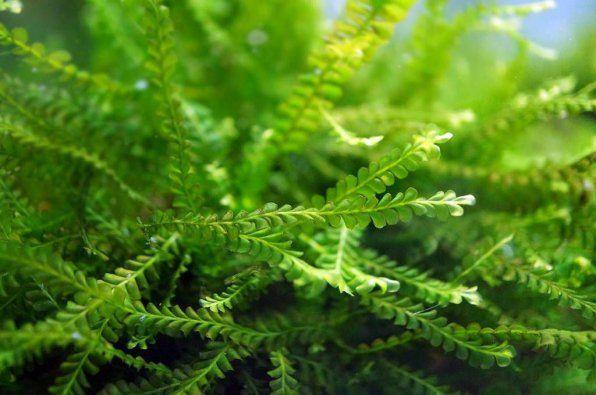 Moss Kamerun ajnj