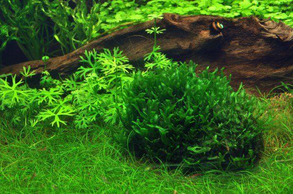 Zdjęcie monosolenium tenerum lub mech pellium