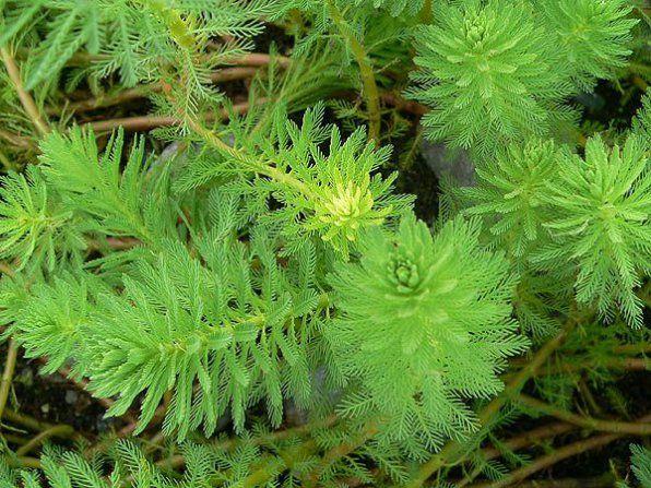 Brazylijskie zdjęcie z liści Cirrus
