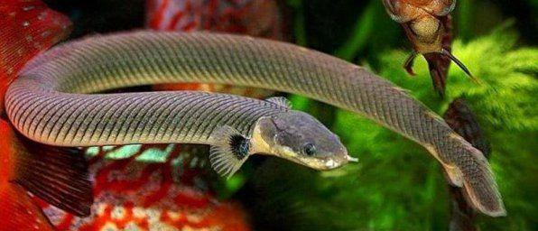 Kalamoikht Kalabar - had akvárium