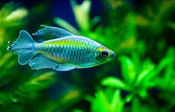 Kongo ryby