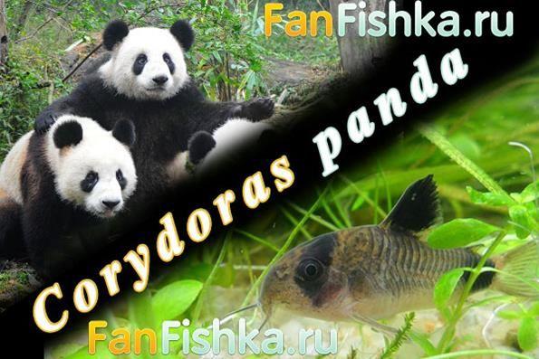 Koridor panda