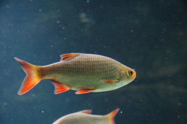 Krasnoperka - akvarijné ryby
