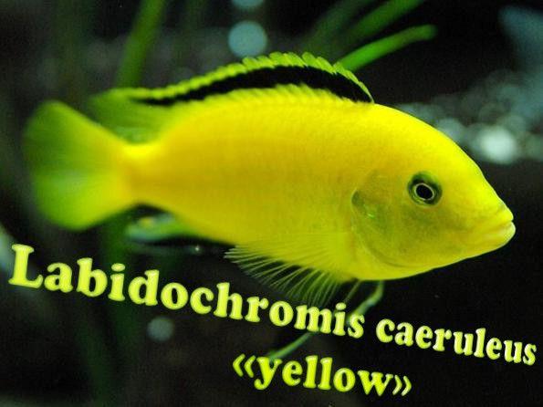 labidochromis žltá
