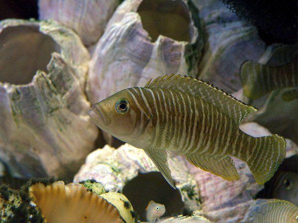Lamprologus similis fotografia