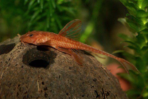 Loricaria červená