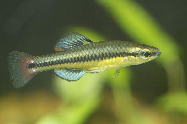 Fotografie z rýb Lucania