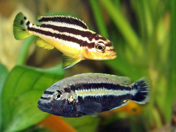Melanochromis auratus zlatý
