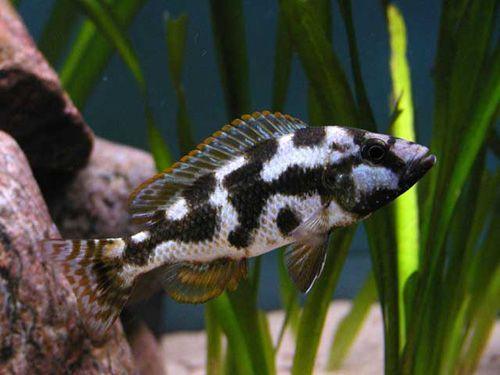 Nimbochromis Livingstone