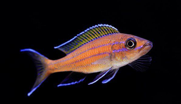 Paracyprichromis nigripinnis blue neon photo