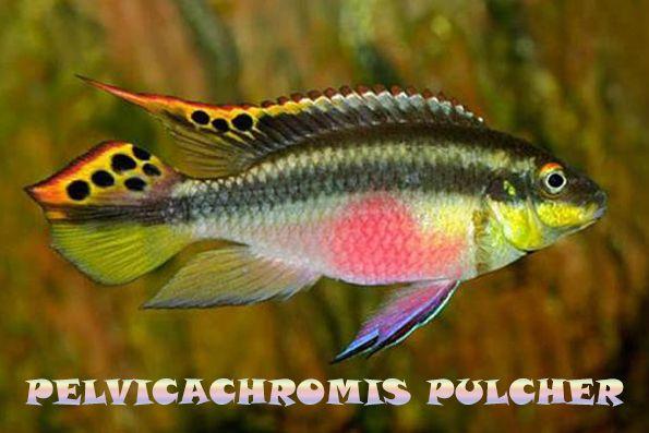 Pulvicachromis pulcher