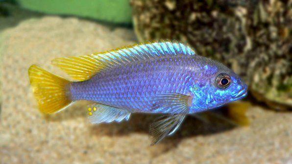 Pseudotrophyus acei luvala útes aki modrá fotka