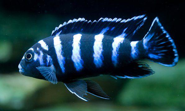 Pseudotrophyus Demasoni fotka