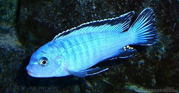Pseudotrophaeus pindani