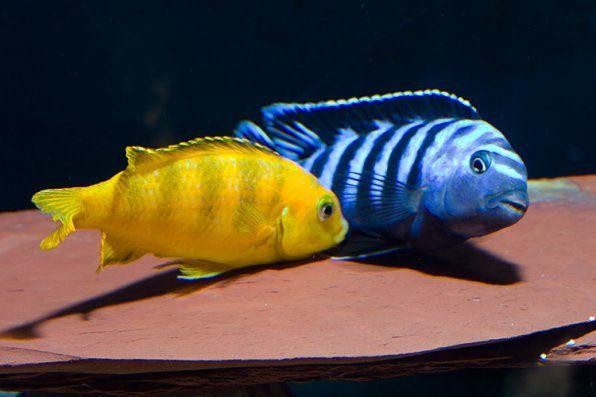 Fotka Pseudotrophheus saulosi