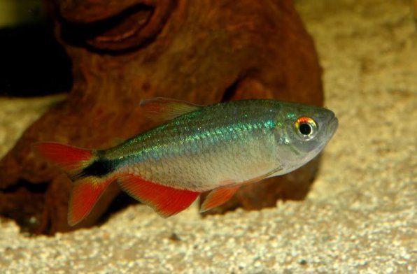 tetragonopterus