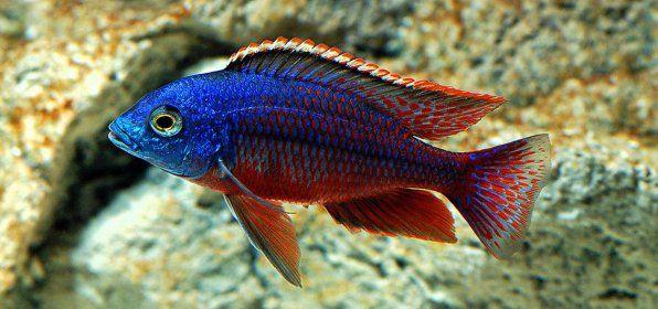 Haplochromis Boazulu