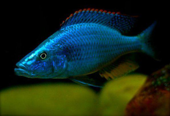 Dimidiochromis Compresseps