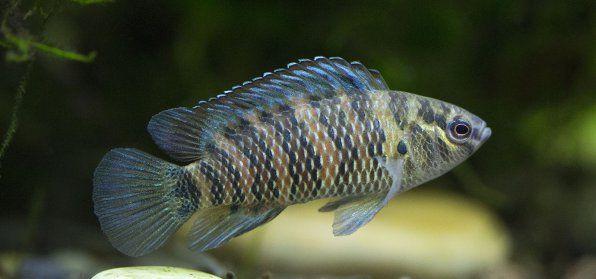 Ryby Chameleon alebo Badis