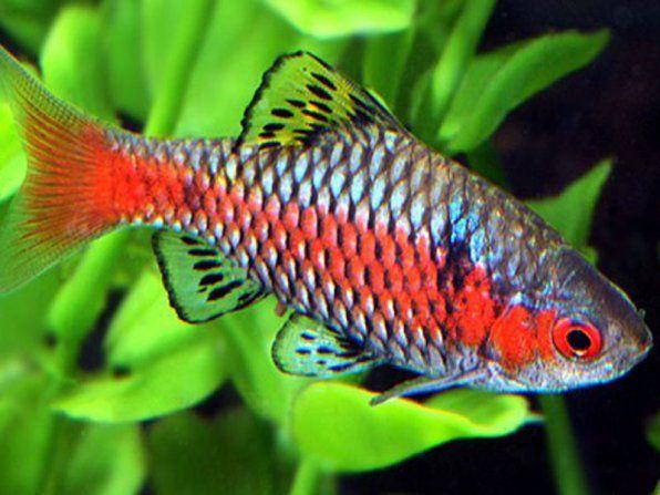 Barbus scarlet