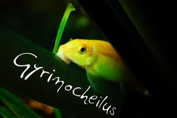 Girinoheylus