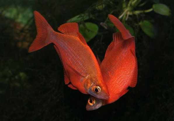 Glossolepis Red