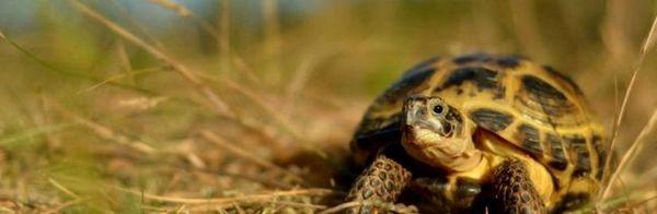 Централноазиатска костенурка: поддръжка и грижи у дома, снимки, видео.