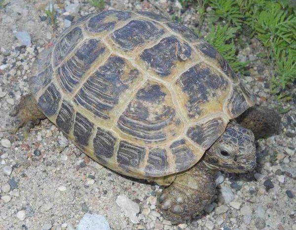 Централноазиатска костенурка: грижи и поддръжка у дома