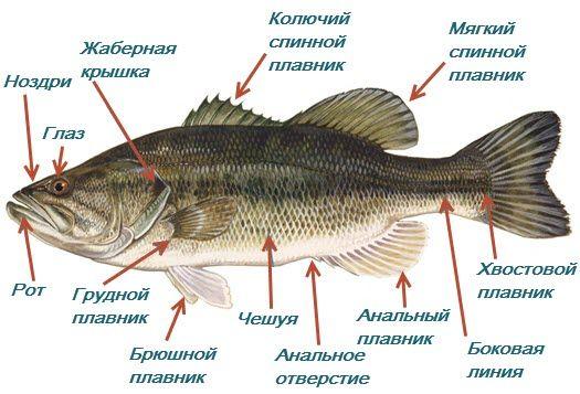 Структурата на риба надворешна фотографија