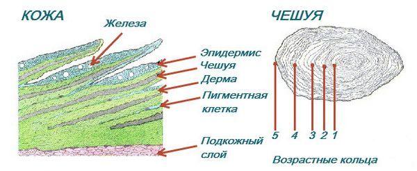 Структурата на риба кожата скали фотографија