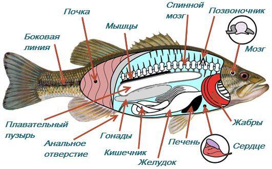 Структурата на рибите во рамките на фотографијата