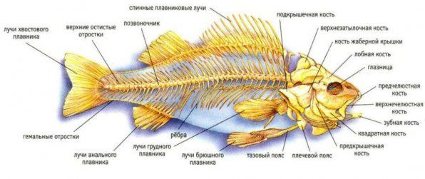 Структурата на внатрешниот скелет на рибата