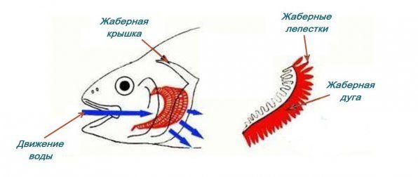 Структурата на внатрешните жабри за риби