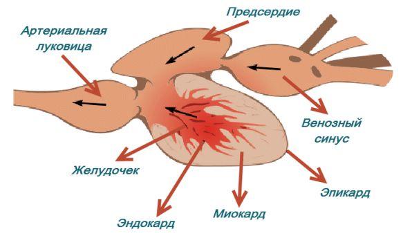 Структурата на риба внатрешно срце