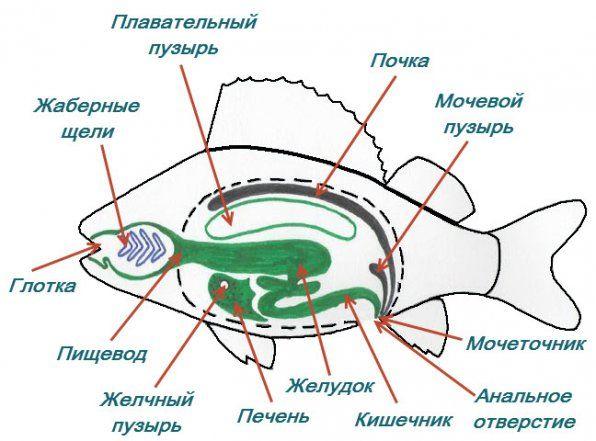 Структурата на внатрешниот дигестивен тракт на рибата